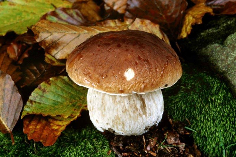 funghiporcini