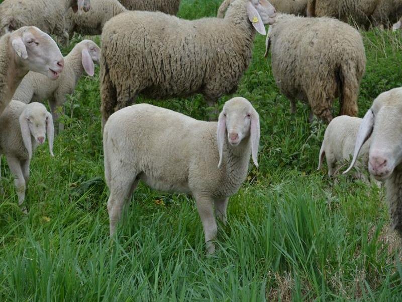 La Tosatura Delle Pecore