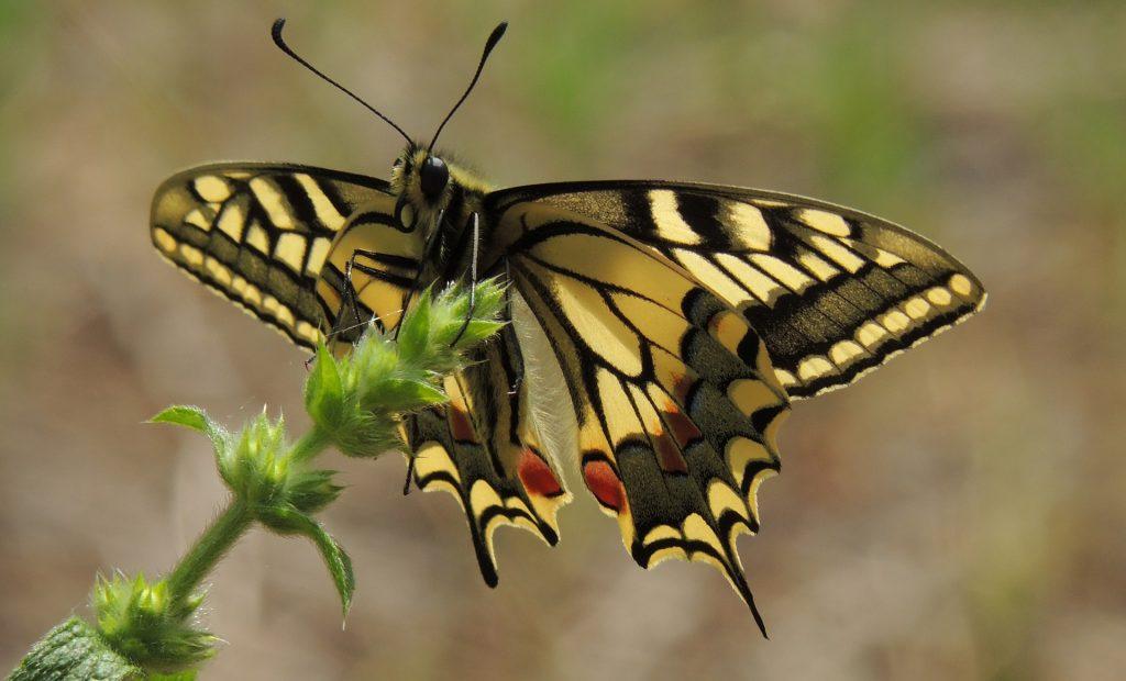 Il Grido Della Farfalla