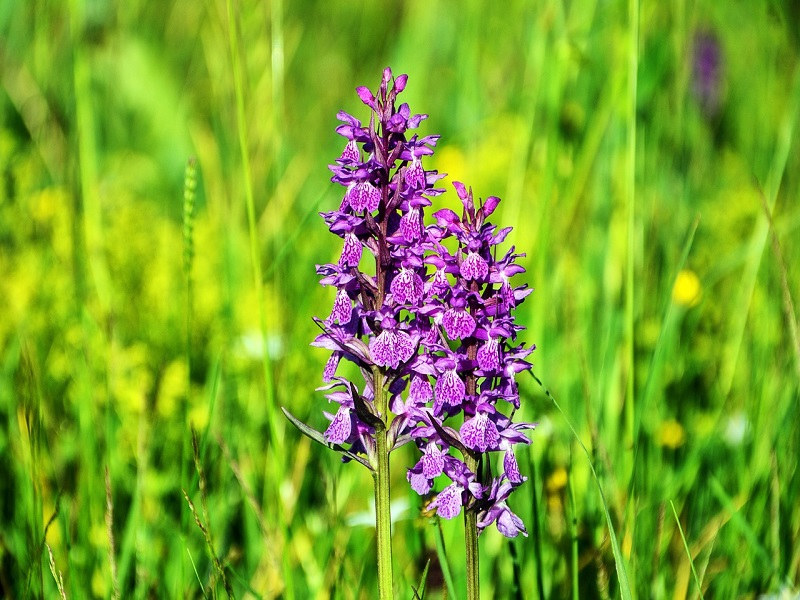 La Collina Le Orchidee Spontanee