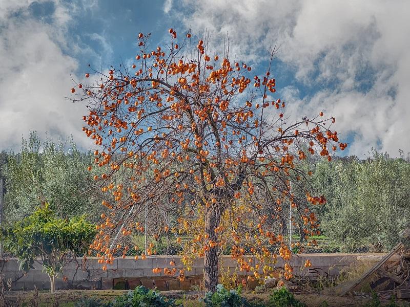 L'albero Della Pace